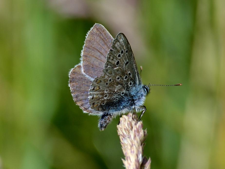 bch-dsc_0024w-chalkhill-blue