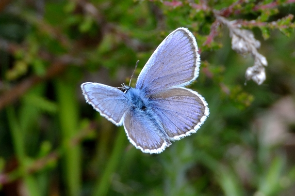 male silver studded blue