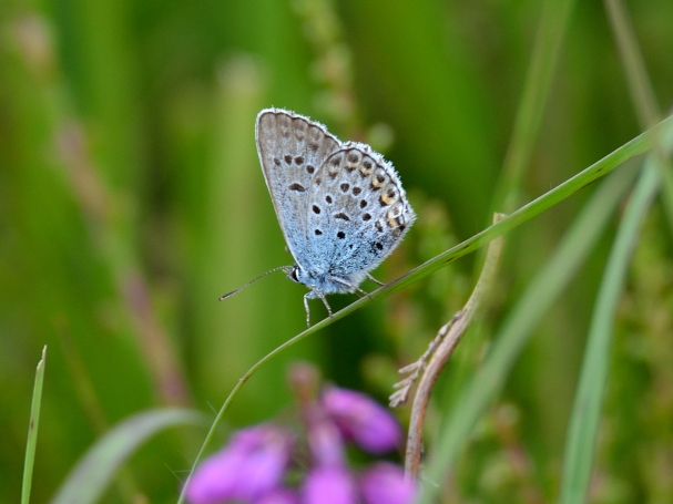 silver studded blue underwing