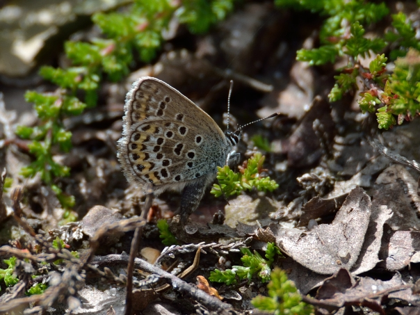 female silver studded blue searching for egg laying site