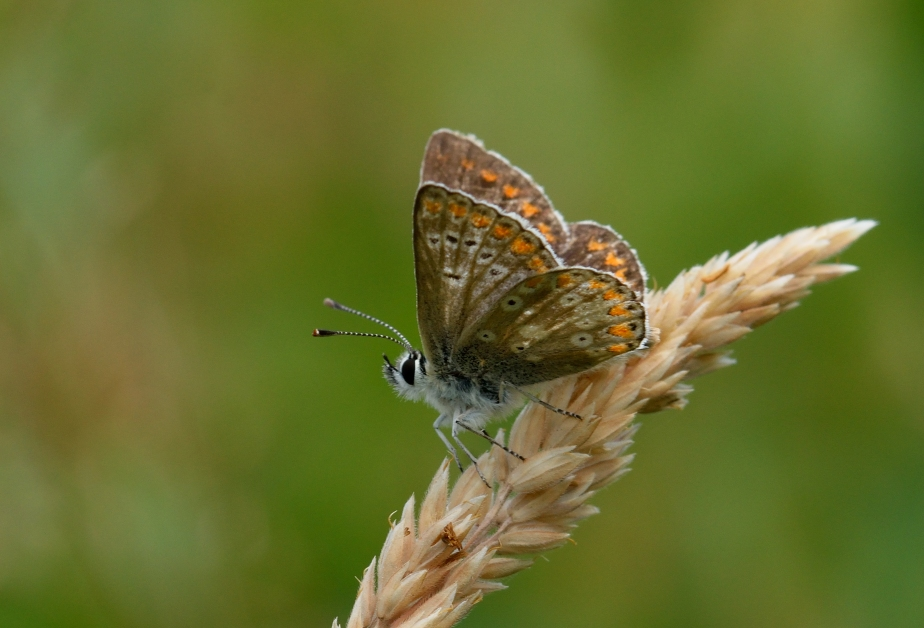 ban DSC_0100a Northern Brown Argus
