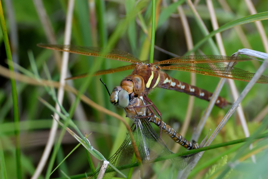 bh DSC_0031a Brown Hawker