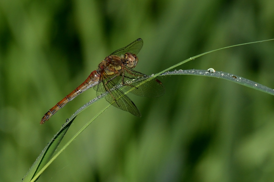 cd common darter DSC_0218a