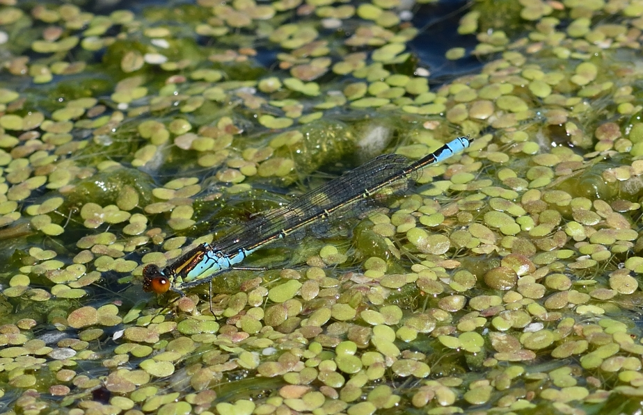 res DSC_0472a Small Red-eyed Damselfly